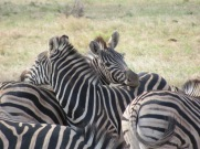 Pile of zebras